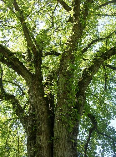 majestic elm
