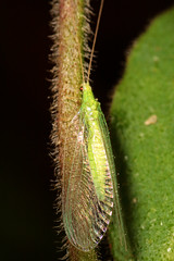 """Lacewing (Chrysoperla carnea) • <a style=""""font-size:0.8em;"""" href=""""http://www.flickr.com/photos/57024565@N00/1096375955/"""" target=""""_blank"""">View on Flickr</a>"""