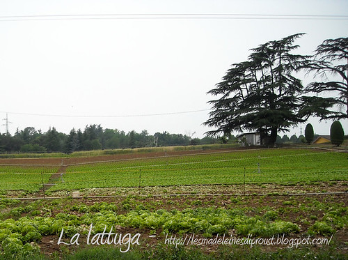 Verso-Farneto-la-lattuga