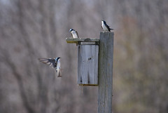 Purple Martin 2 (edearmitt) Tags: bird nature animal animals photographer sony delaware bombayhook animaladdiction animaladdictionicon llovemypic naturesbeautiesflowersplantstreeslandscapesgardens