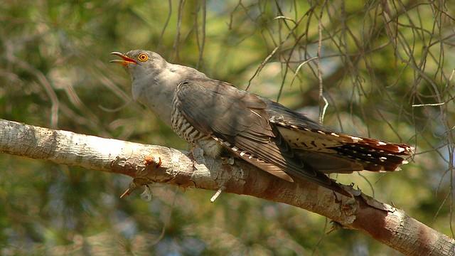 Cantando desde un pino