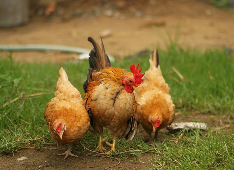 Trai gà serama A bán giá bộ đội......! - 10