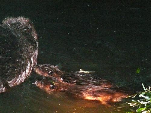 2 baby mtz beavers