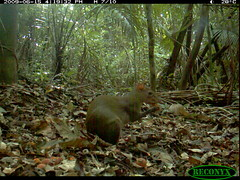 Central American Agouti (siwild) Tags: bci centralamericanagouti dasyproctapunctata rodentsandrabbits taxonomy:group=rodentsandrabbits sequence:index=97 siwild:study=fruitingpalmtrees siwild:studyId=panapalm siwild:Rank=0 geo:locality=panama taxonomy:species=dasyproctapunctata taxonomy:common=centralamericanagouti sequence:length=140 file:name=img6767jpg siwild:plot=62 siwild:imageid=701258 file:path=dpicsrunsastromammalsvsmnc1img6767jpg siwild:location=1839 siwild:camDeploy=1317 sequence:id=34087 siwild:date=200906151619000 siwild:trigger=71713 siwild:region=panama siwild:species=119 sequence:key=70 geo:lon=9161987 geo:lat=79841068 BR:batch=sla0620101223062515