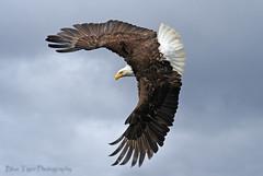Spread Eagle (PamsWildImages) Tags: canada bird eagle wildlife raptor princerupert specanimal bluetiger13 canonrebeltxi fiveflickrfavs
