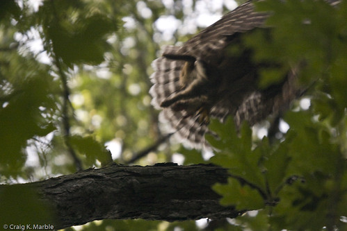 Barred Owl (4 of 4)