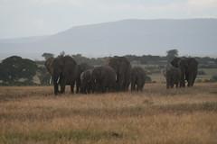 elephants (Madame Knipse) Tags: africa nature animals kenya elephants masaimara