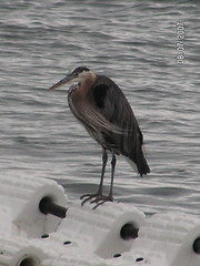 Heron at Redondo Beach in Des Moines WA on Puget Sound