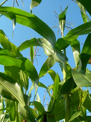 Popcorn (Juewi) Tags: corn mais popcorn ernte