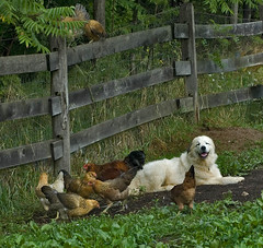 Peaceable kingdom (Flint-Hill (away)) Tags: chickens fidget buckscounty greatpyrenees patou bucksco 3446 livestockguardian