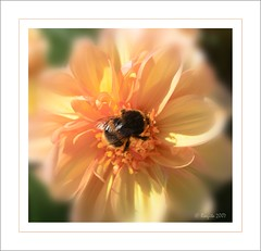 Nectar Dreams (Roszita) Tags: flower macro peach bee elegance excellence takeabow naturesfinest blueribbonwinner flickrsbest masterphotos beautifulcapture abigfave anawesomeshot impressedbeauty aplusphoto empyreanflowers searchandreward floralexcellence masterphoto scarletrose77 theperfectphotgrapher mykindaphoto coolestdamnnphotographer