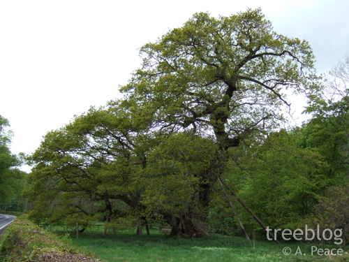 the Capon Tree