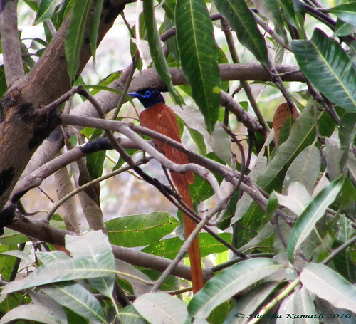 Gir Birding lodge - Paradise fly catcher