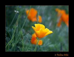 gold cup... (~pauline sirks ~) Tags: orange flower garden bokeh californianpoppy escholtzia masterphotos mywinners