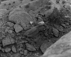 Mountain Goats, Canyon de Chelly, Large Format 4X5 (Stealthman_1) Tags: monochrome 4x5 ilfordfp4 iso125 chamonix45n1 nikkor300mmf56