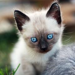 hi! i'm Poppy, nice to meet you! (Angelo Gonzlez) Tags: portrait animal fauna cat 50mm retrato gato poppy siames ag2r angelogonzalez