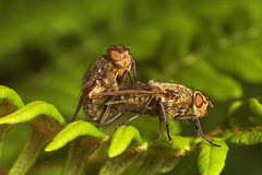 """Mating Flies(9) • <a style=""""font-size:0.8em;"""" href=""""http://www.flickr.com/photos/57024565@N00/530184504/"""" target=""""_blank"""">View on Flickr</a>"""