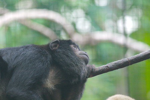 Two Black Monkeys Black Howler Monkey Clings to