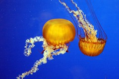 Dancing Jellies - by ilovepics11