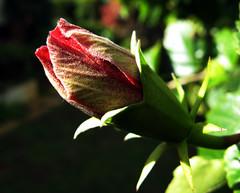 Hibiscus bud (pennyeast) Tags: pink flowers plant flower macro home nature garden southafrica botanical capetown hibiscus malvaceae hibiscusrosasinensis plantae mygarden westerncape july2007 10millionphotos papaalphaecho