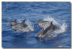 Stenella Frontalis (PedroMadruga) Tags: ocean sea wild dolphin wildlife pico azores açores pintado tonina openocean toninha spotteddolphin mywinners pintadinha pedromadruga southofpico toninhamansa suldopico golfinhopintado bfgreatesthits