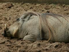 Warthog (Mandy Verburg) Tags: animal zoo pig belgium belgie antwerp hog dier antwerpen anvers animalpark varken warthog dierentuin zwijn wrattenzwijn thebiggestgroup mandyarjan