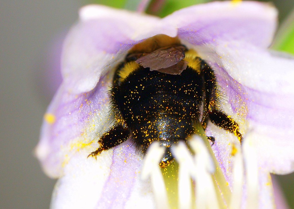Bumble and pollen