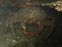 Maja squinado (coismarbella) Tags: mergulho dive scuba diving marbella buceo submarinismo tauchen plonge crustaceos
