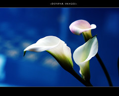 THANK YOU (donpar) Tags: blue white lily thankyou callalily soe naturesfinest diamondclassphotographer onlythebestare