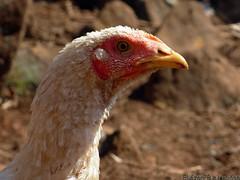 Curioso... (eliezerfb) Tags: galinha aves galo frango