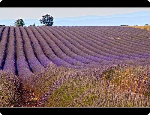 Provence | Lavender Field