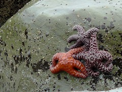 Starfish Trio - by sea turtle