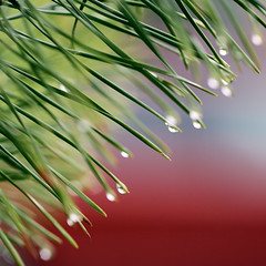 Drop after drop after drop (Gordana AM) Tags: red ontario canada tree green wet water rain garden square drops triangle many may diagonal evergreen rainy repetition windsor after colourful needles oblique spruce conifer dropping lepiafgeo