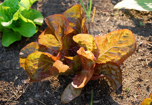 marvel of the seasons lettuce