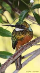 Série com o macho do Ariramba, Ariramba-da-cauda-ruiva, Bico-de-agulha, Bico-de-agulha-de-rabo-vermelho, Beija-flor-grande, Beija-flor-d'água (Galbula ruficauda) - Series with the male of the Rufous-tailed Jacamar - 05-06-2010 - IMG_0197 (Flávio Cruvinel Brandão) Tags: brazil naturaleza bird nature birds animal animals brasília brasil cores natureza pássaro aves ave series macho animais cor pássaros série galbula séries rufoustailedjacamar galbularuficauda ruficauda rufoustailed jacamar bicodeagulhaderabovermelho bicodeagulha arirambadacaudaruiva ariramba beijaflorgrande arirambadamatavirgem jacamarici bicodesovela sovelão arirambaderabovermelho beijaflordágua jacamars fláviobrandão furabarrancos