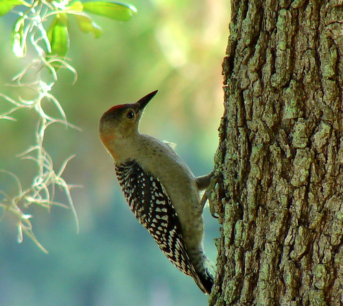 Red-bellied Woodpecker Fledgling