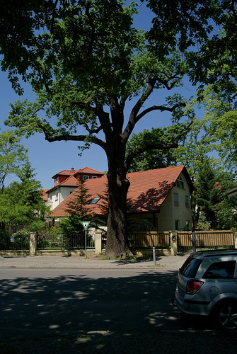 Berlin Karlshorst - Naturdenkmal Stieleiche