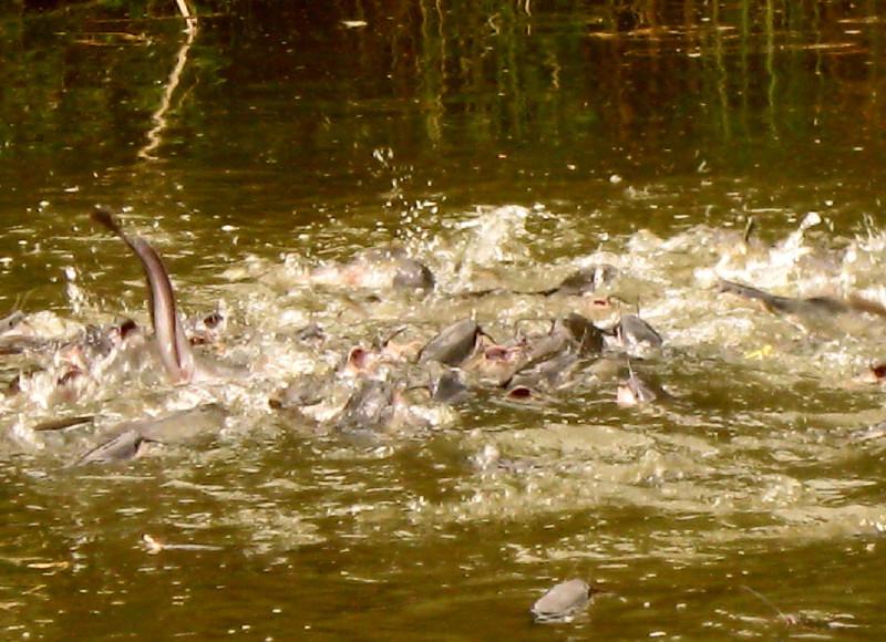 12-06-2010-jumping-fish2