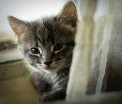 Window Kitty #2 (ohmygosh337) Tags: cats animals kittens