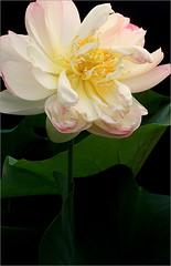 Lotus Flower - IMG_2842-1000 (Bahman Farzad) Tags: flower macro yoga peace lotus relaxing peaceful meditation therapy lotusflower lotuspetal lotuspetals lotusflowerpetals lotusflowerpetal