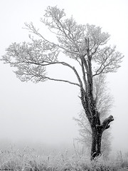 Winter 2 (R A Pyke (SweRon)) Tags: old winter blackandwhite bw cold tree frost sweden bare olympus fullframe tortured hoar rebro lindbacka sweron e620 m42kennex35mmf28 1011178625