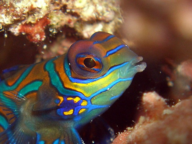 Diving Permutaran Lovina Mandarin Fish