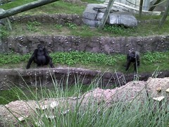 two gorilla chicks