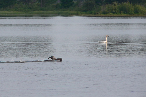 Common Loon with Trumpeter Swan