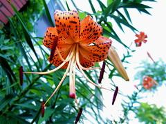 (mightyquinninwky) Tags: flower geotagged lookingup louisvillekentucky abigfave jeffersoncountykentucky geo:lat=38224595 geo:lon=85738764 bestofformyspacestation