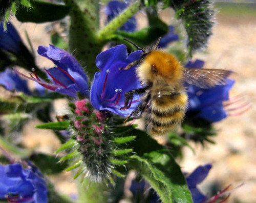 Vipers Bugloss and bee