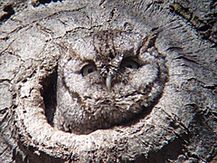 Petit Duc macul - Eastern Screech Owl.   Parc Summit  30-04-2006  P4300015 (Diane G. Happy Holidays to all! Joyeuses Ftes!) Tags: on