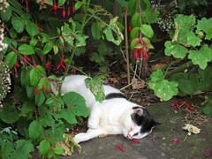 Secret Sleep (KirscheTortschen) Tags: uk cute cat garden blackwhite content sleepy asleep hiding bliss fuscia supershot wollertonoldhallgarden