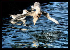 Swan Dive, Seagull Style (~Dezz~) Tags: motion reflection bird water river upsidedown action wildlife seagull dive splash nosedive canonef70200mmf4l canoneos400d canondigitalrebelxti