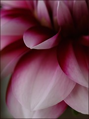 True colours (Kirsten M Lentoft) Tags: dahlia fab flower macro petals bravo excellence supershot magicdonkey mywinners aplusphoto momse2600 diamondclassphotographer superhearts excellentphotographerawards flickrelite brillianteyejewel colourartaward theperfectphotographer kirstenmlentoft